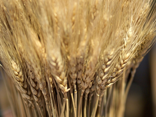 大麦粉って何がスゴイの?